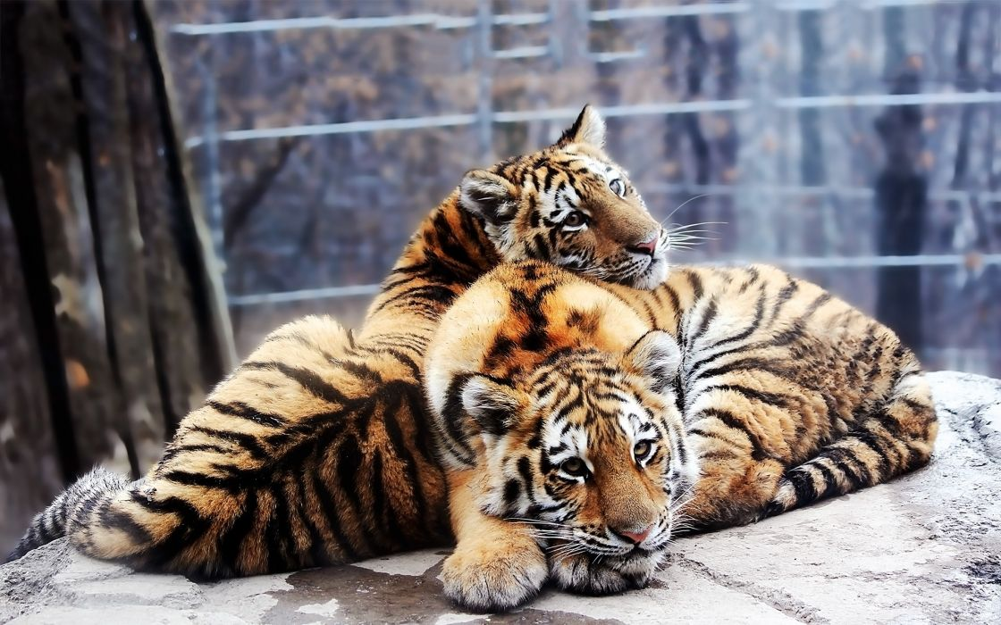 tiger predator cub baby       f wallpaper