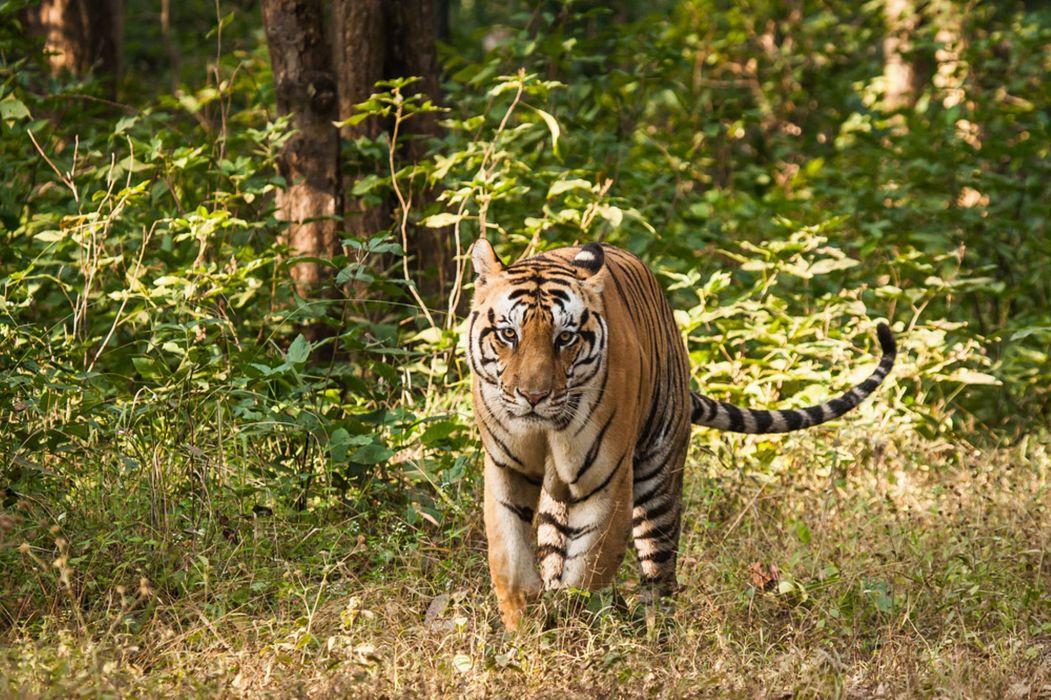 tiger predator forest         h wallpaper