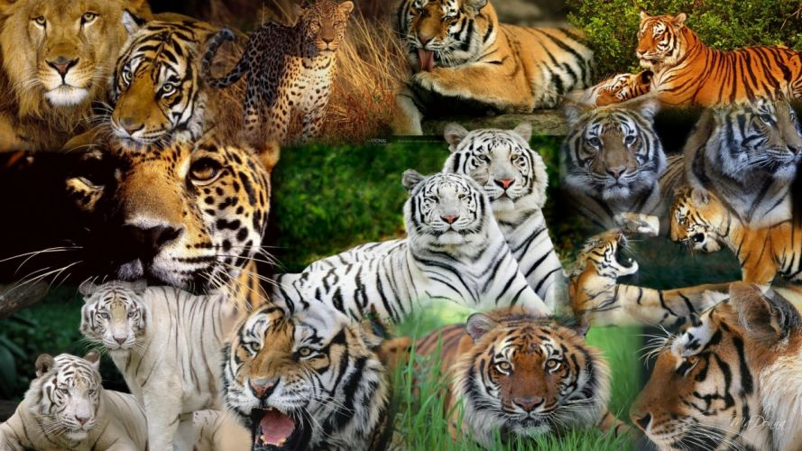 tiger predator leopard lion jaguar cheetah h wallpaper