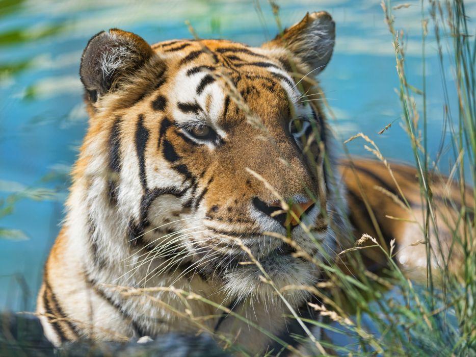 tiger wild cat muzzle swimming wallpaper