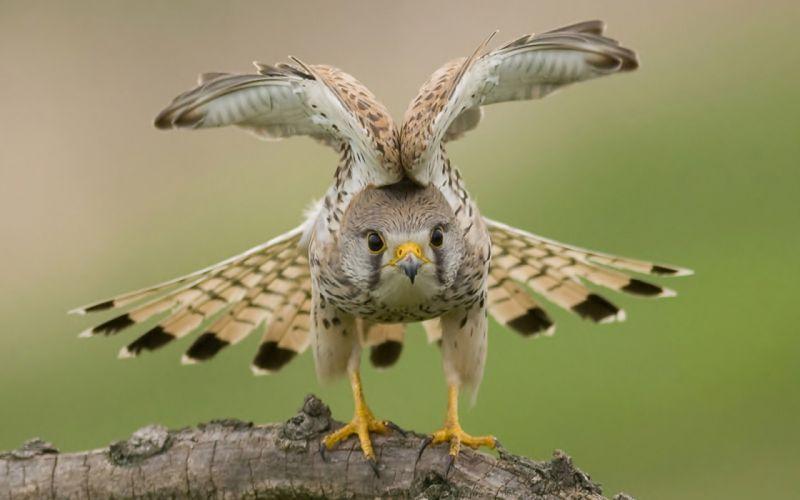 wings eyes falcon wallpaper