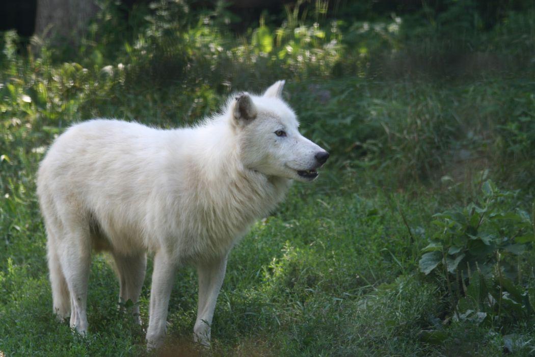 wolf Melvilsky island predator wolves       g wallpaper