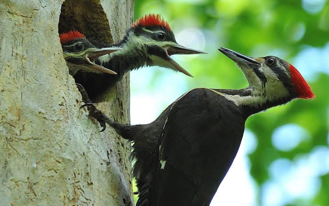 woodpecker wood hollow chicks baby wallpaper