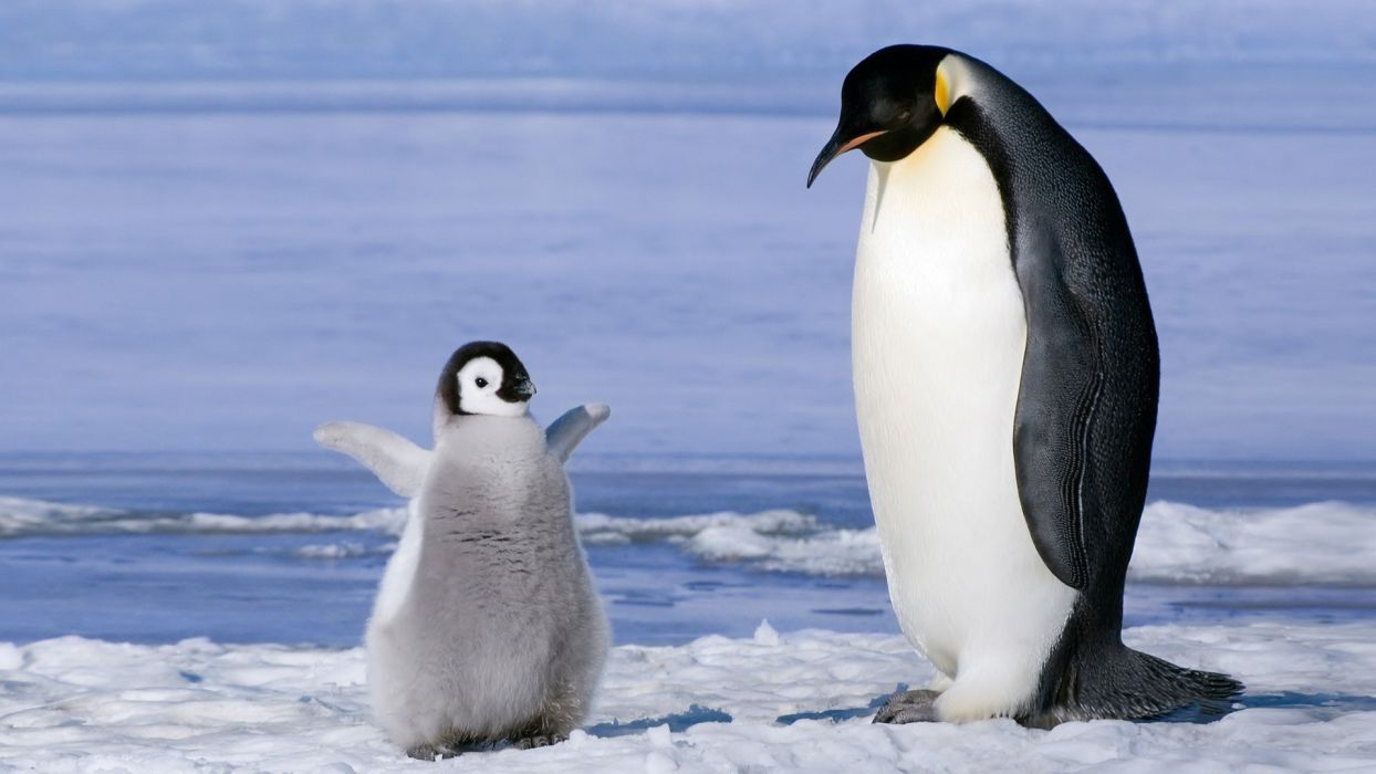 nature penguin baby ice animal hd wallpaper wallpaper