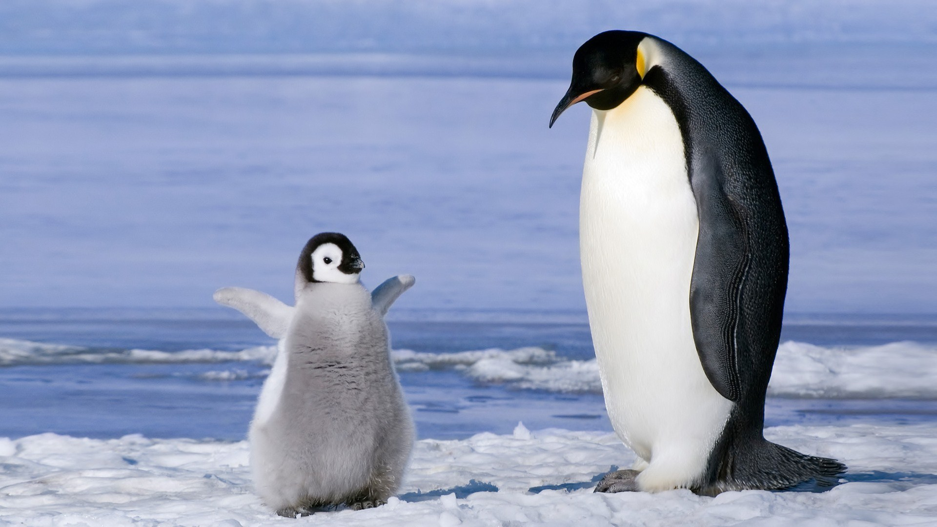 nature penguin baby ice animal hd wallpaper wallpaper | 1920x1080