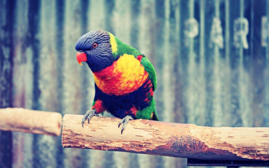 birds parrots web wallpaper