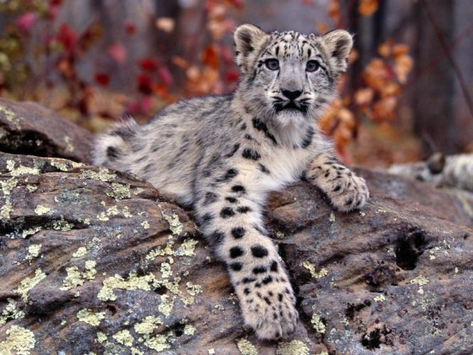 nature animals snow leopards cubs baby animals wallpaper