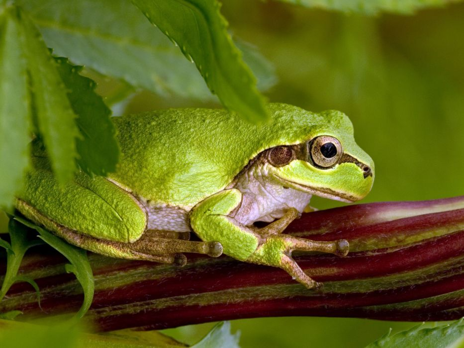 frogs amphibians wallpaper