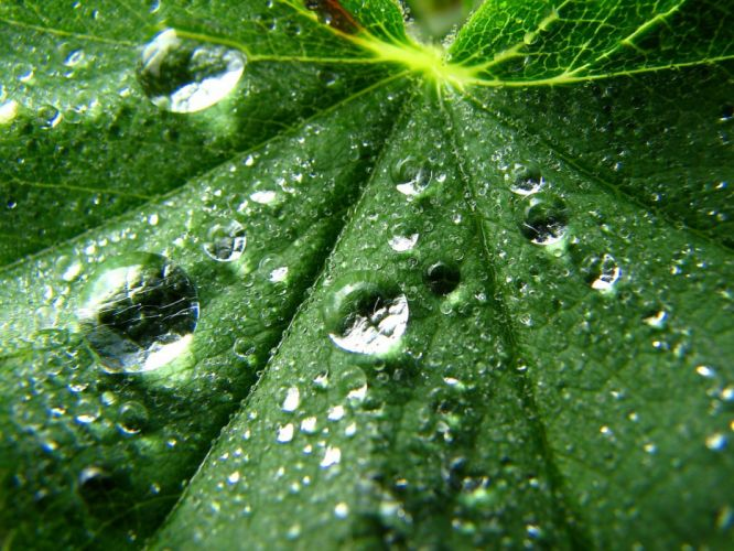 leaves water drops wallpaper