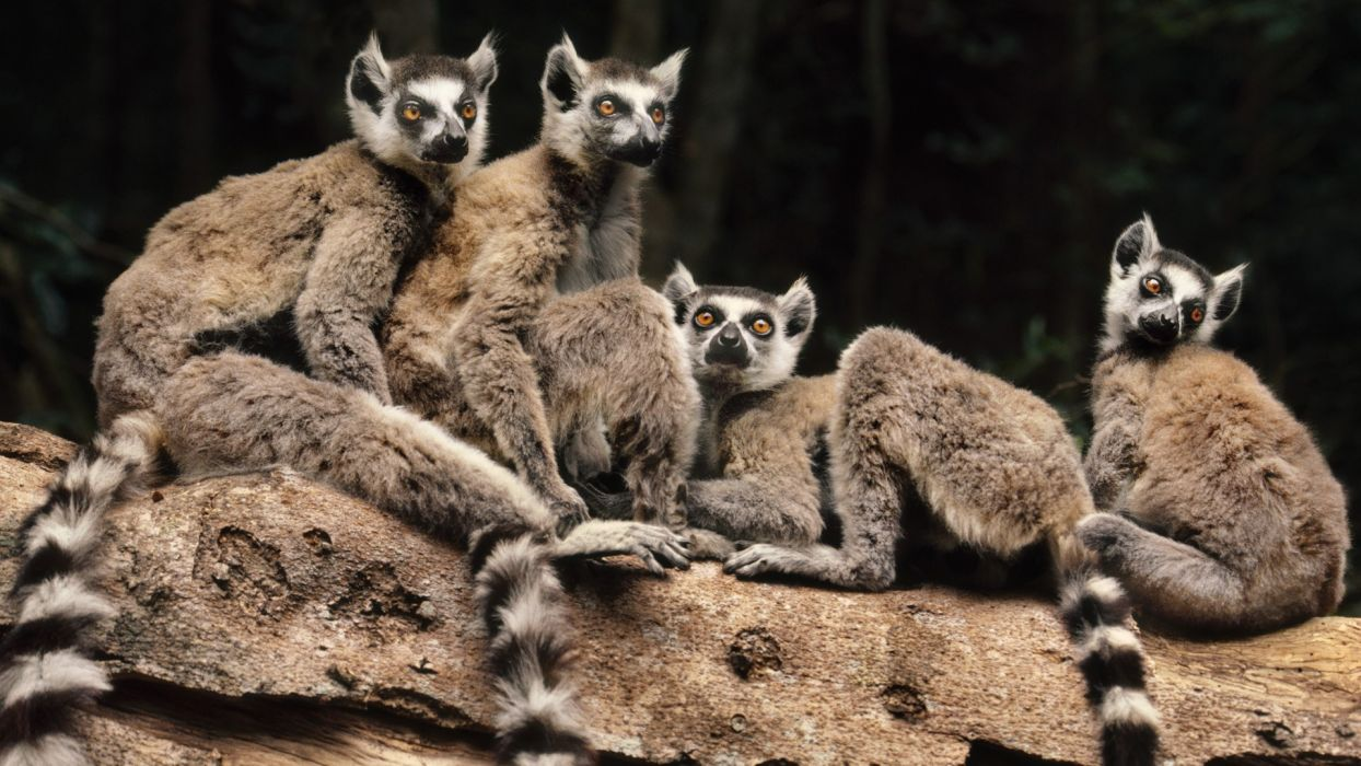 animals madagascar lemurs wallpaper