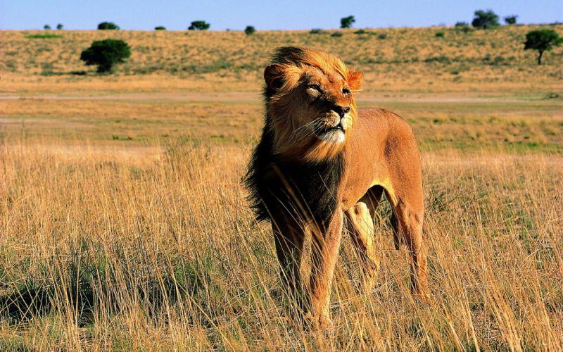 animals lions wallpaper