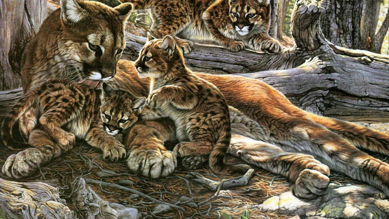nature family animals puma wild animals mountain lions Cougar wallpaper