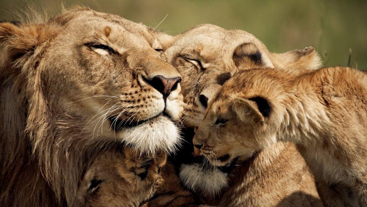 nature animals lions baby animals wallpaper