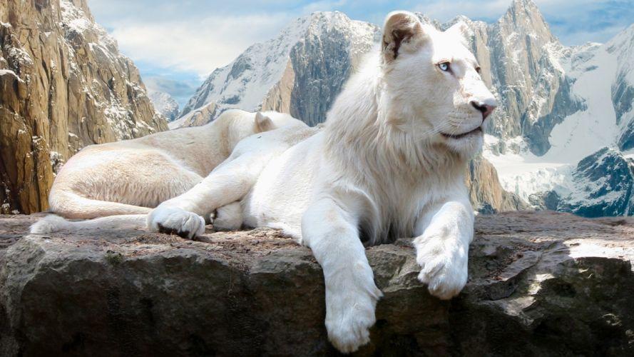mountains snow cats animals feline lions white lions wallpaper