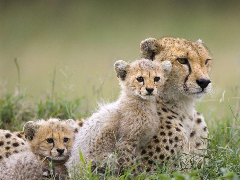 animals cheetahs baby animals wallpaper