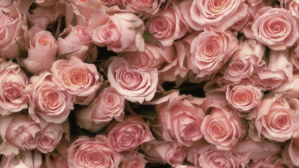 flowers pink roses pink flowers wallpaper