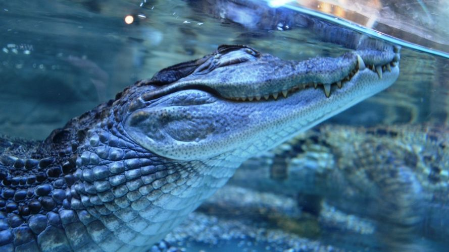 nature predator animals crocodiles wild animals underwater wallpaper