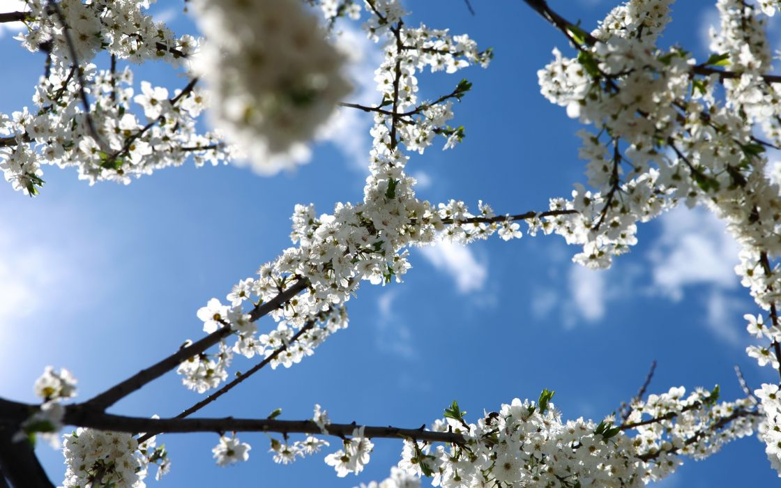 cherry blossoms flowers white flowers blue skies wallpaper