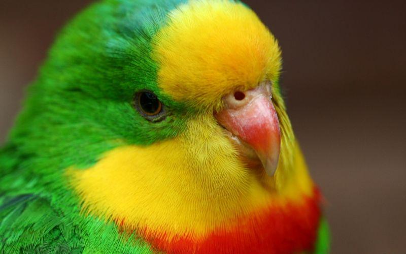 close-up birds animals parrots wallpaper