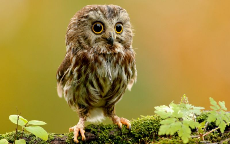 nature animals plants owls big eyes wallpaper