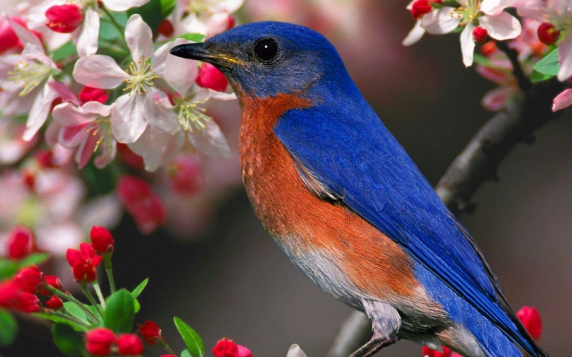 birds bluebirds wallpaper