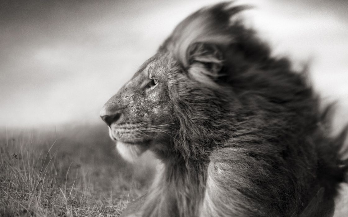 animals grayscale lions wallpaper