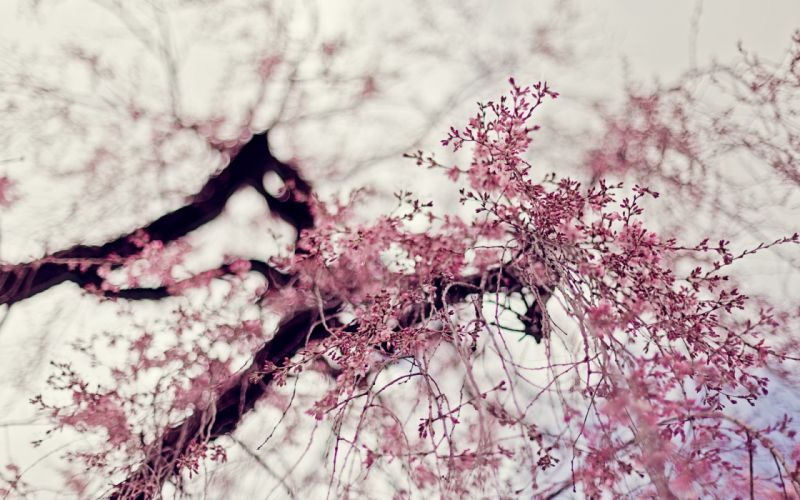 nature trees flowers depth of field pink flowers flowered trees wallpaper