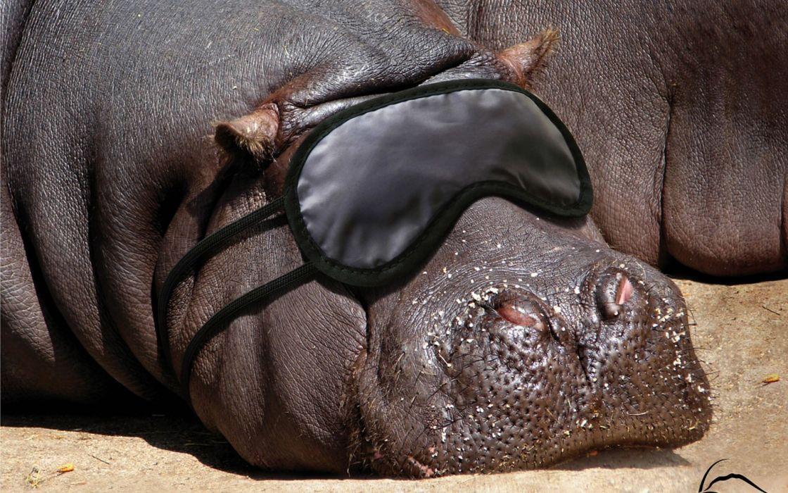 animals blindfolds hippopotamus wallpaper