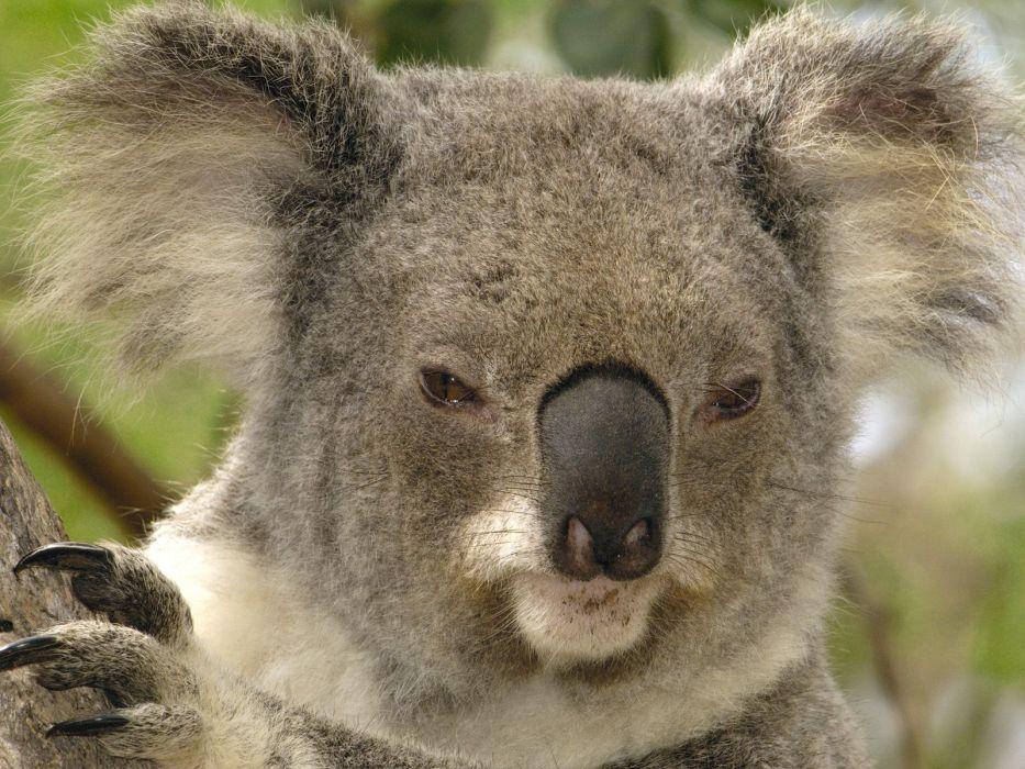 animals koalas mammals wallpaper