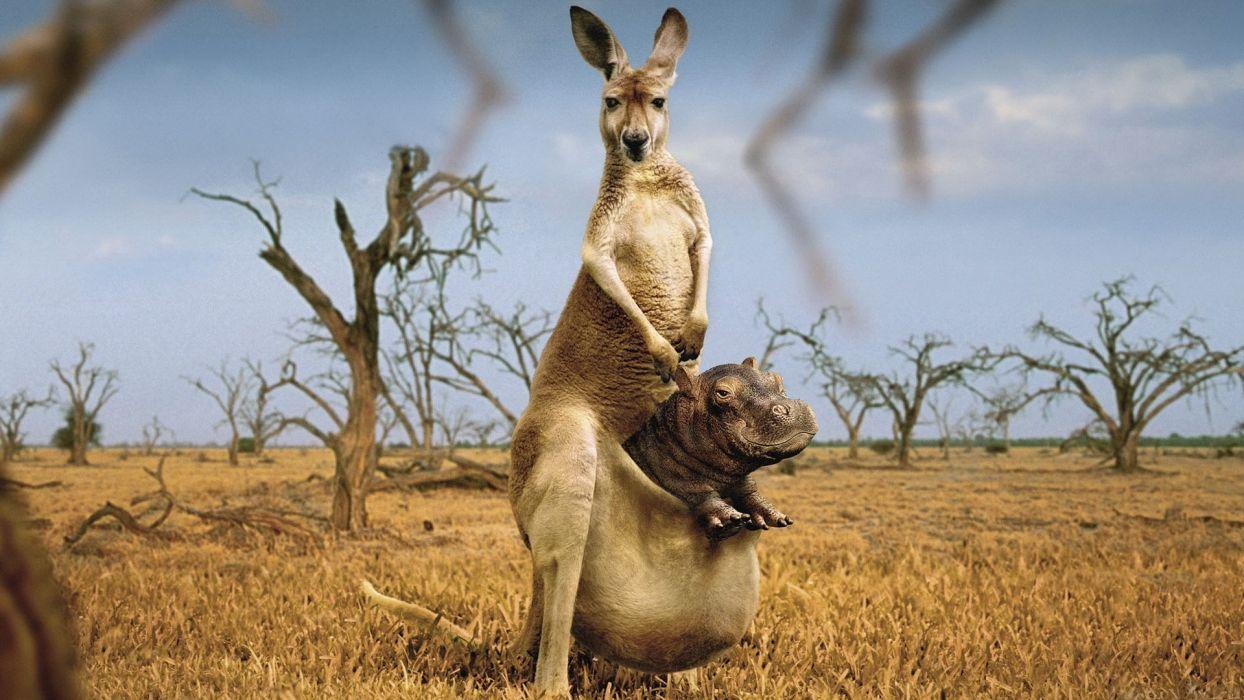 animals hippopotamus photo manipulation kangaroos wallpaper