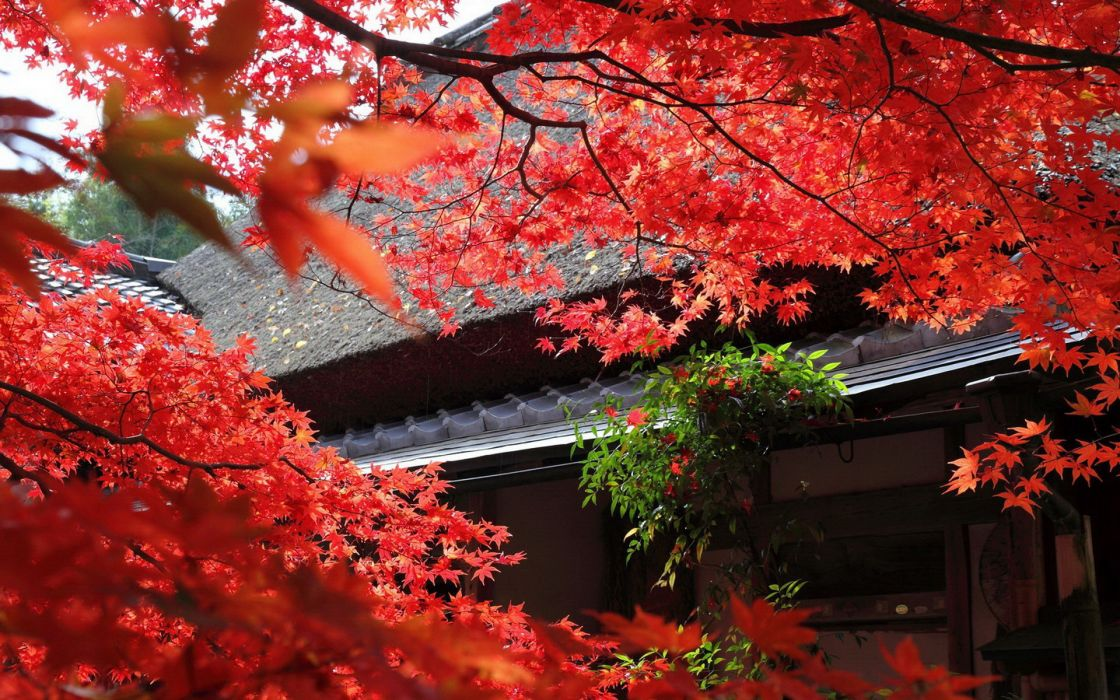 autumn japan tree leaves red wallpaper