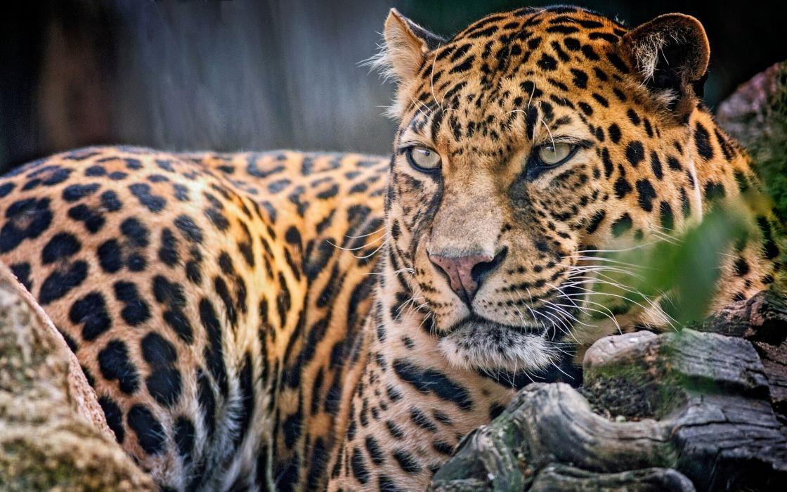 Big cats Leopard Glance wallpaper