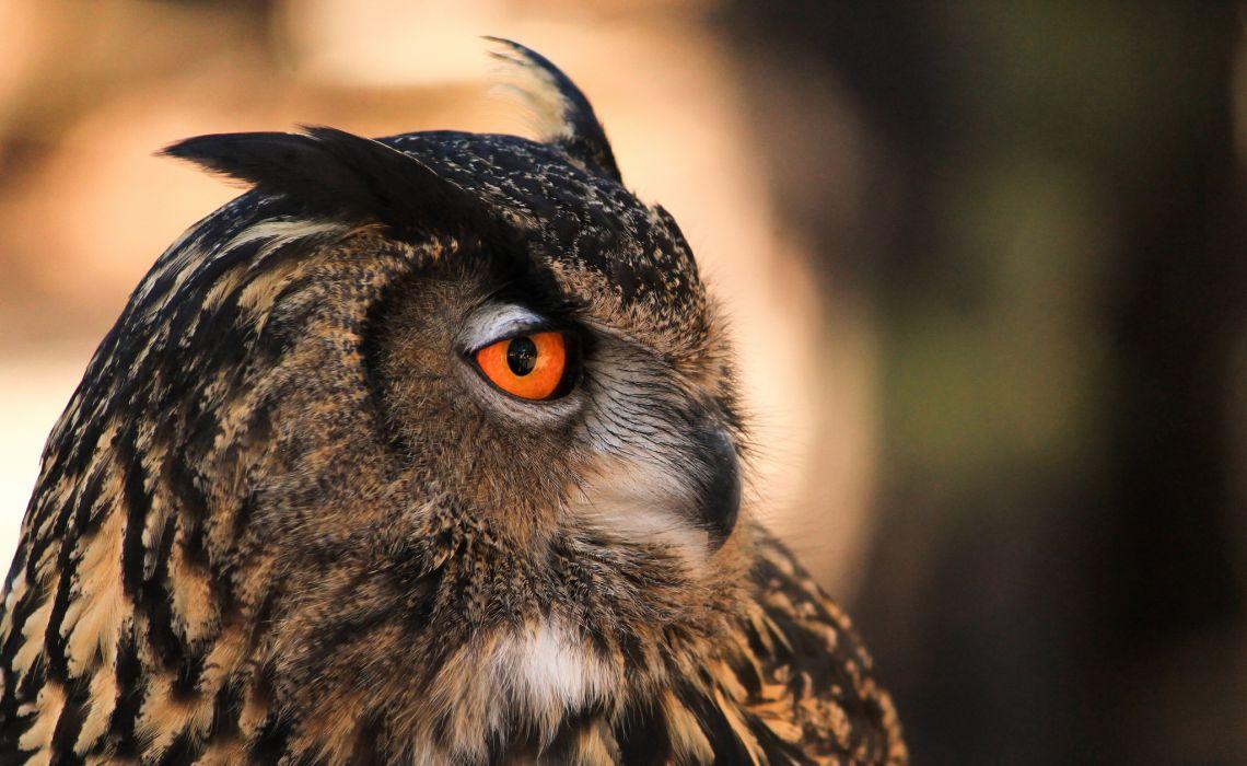 bird owl Profile wallpaper