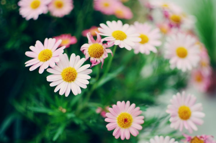 Camomiles Flowers f wallpaper