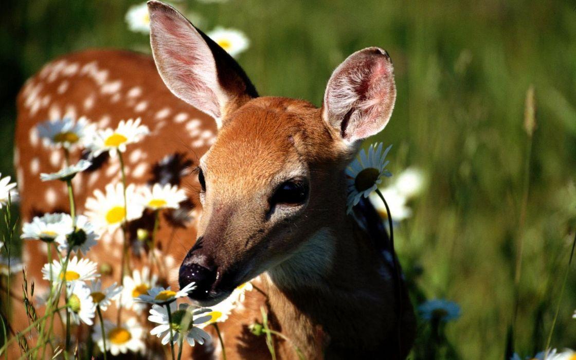 deer baby flowers daisies wallpaper