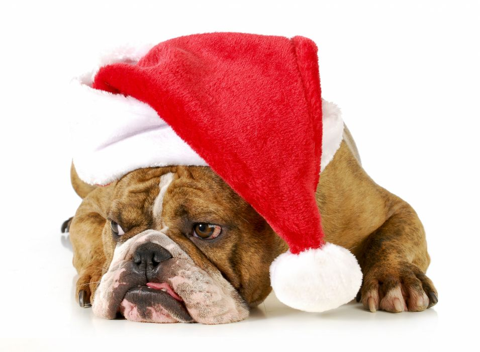 Dogs Christmas ( New year ) Winter hat Bulldog Animals wallpaper