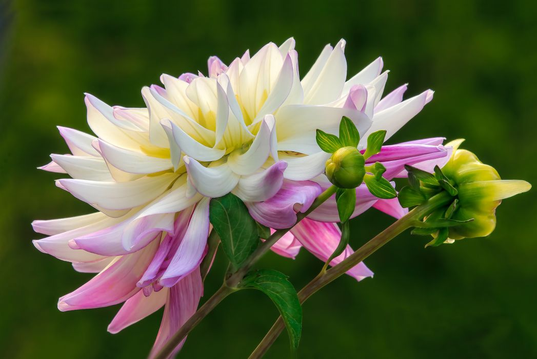 flower buds white and pink dahlia wallpaper