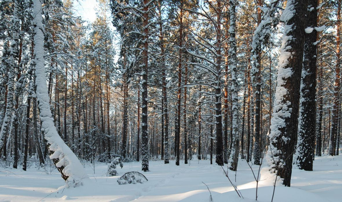 Forest Trees Snow Nature wallpaper