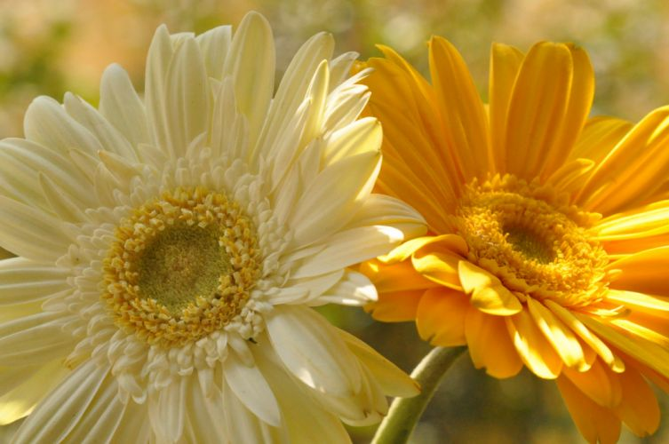 Gerberas Closeup Flowers wallpaper