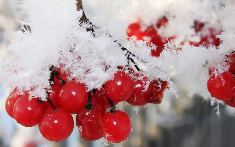 nature winter first snow red berries fruits cranberry g wallpaper