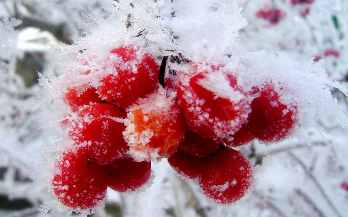 nature winter first snow red berries fruits cranberry    t wallpaper