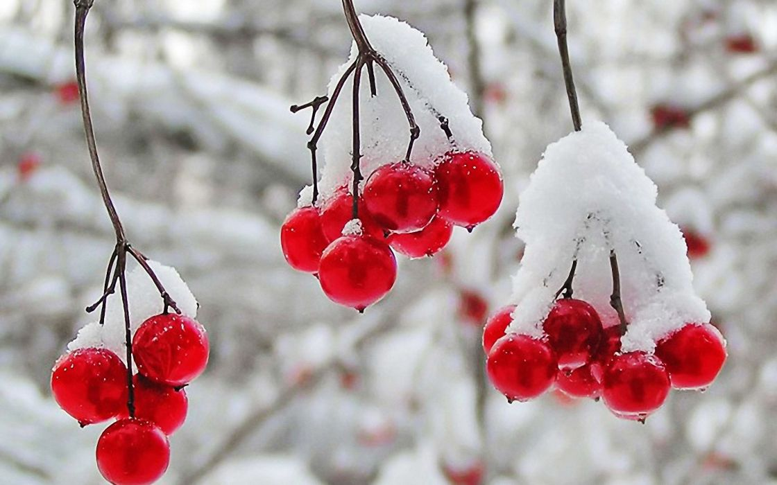 nature winter first snow red berries fruits cranberry  r wallpaper
