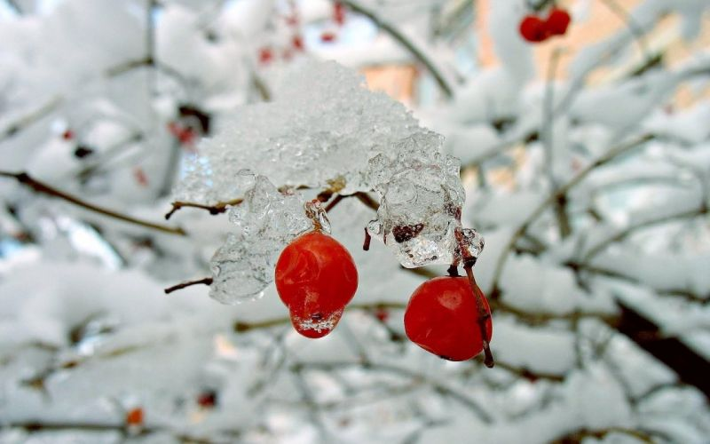 nature winter red berries rose hips snow bushes wallpaper