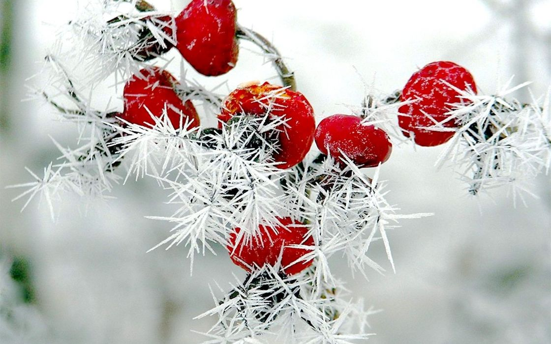 nature winter red berries rose hips snow frost wallpaper