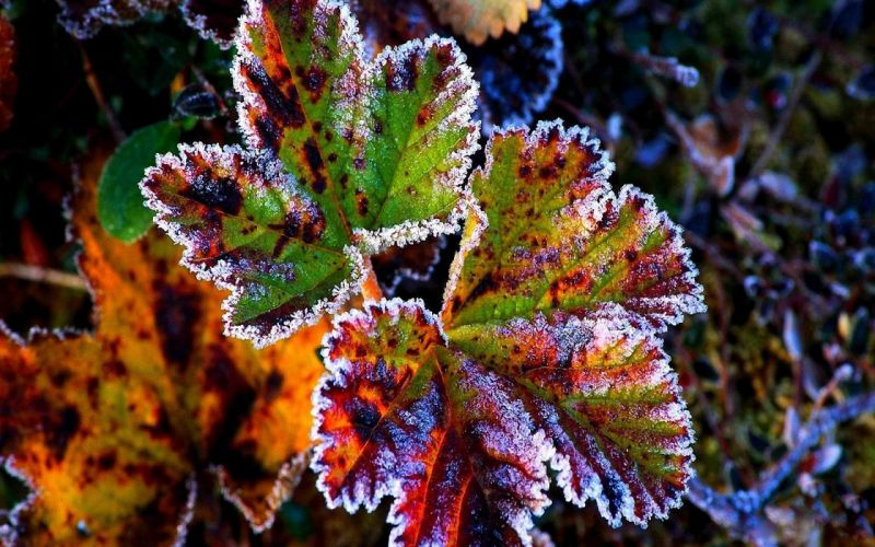 nature winter the first snow red leaves frost grass autumn wallpaper