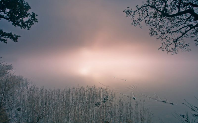 Pond Fog Mist Bird Duck wallpaper