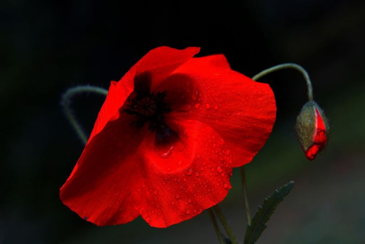 Poppies Closeup Drops Flower poppy wallpaper