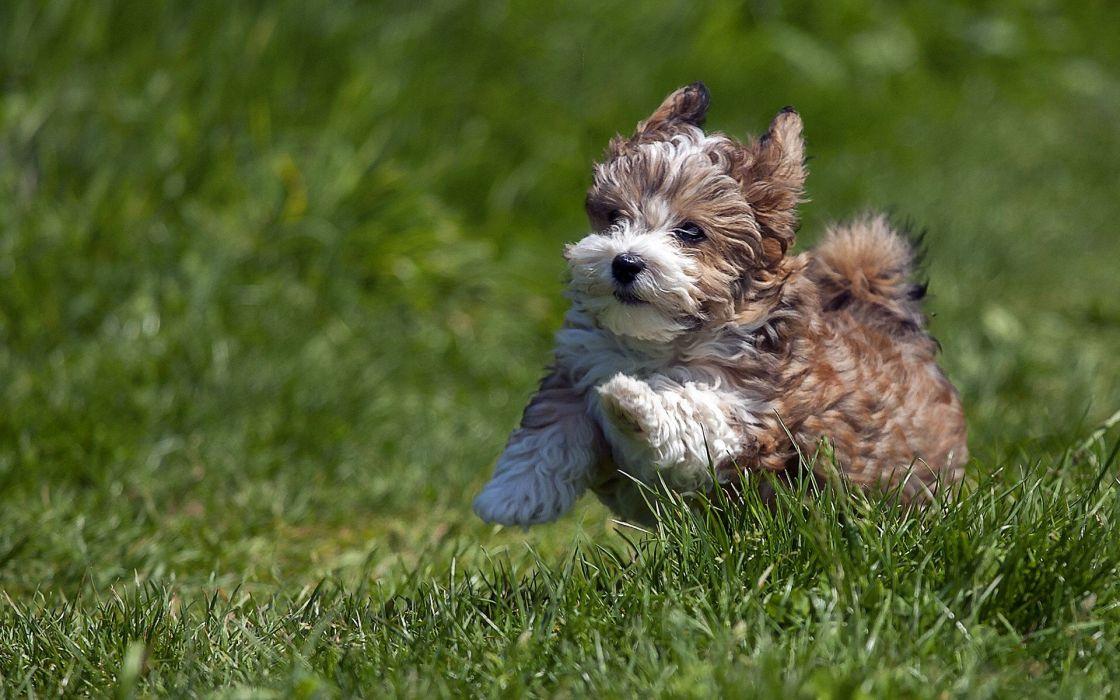 puppy running grass wallpaper