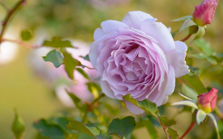 rose buds macro      g wallpaper