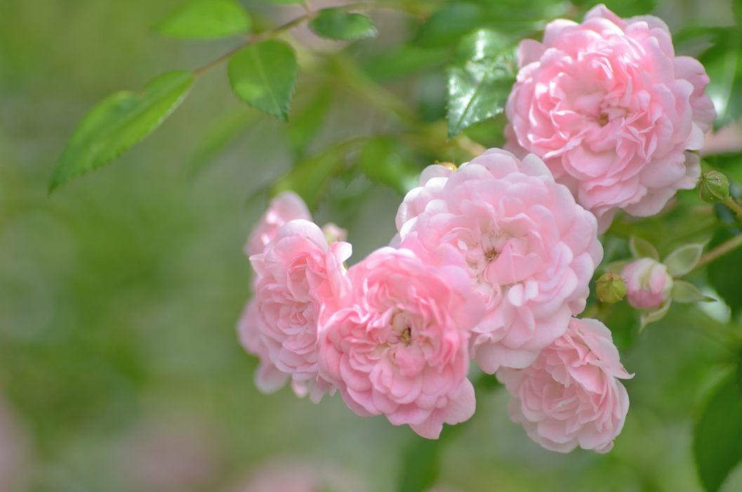 Roses Pink color Flowers wallpaper